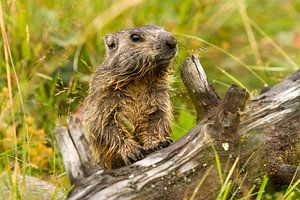 Een marmot klimt op een boomstronk