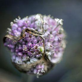 Vergessene Lauchblüte im Gemüsegarten im Herbst vor einem verschwommenen Hintergrund mit Kopierraum, von Maren Winter