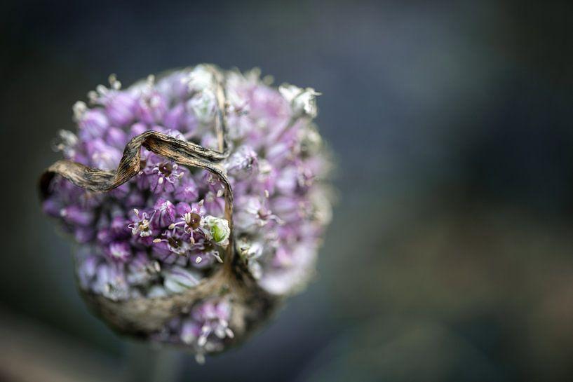 Fleur de poireau oubliée dans le potager en automne sur un fond flou avec espace de copie, plan rapp sur Maren Winter
