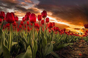 Rode Tulpen bij Zonsondergang van Mario Calma