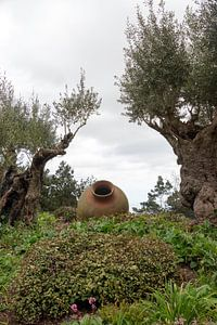 olive trees and old vases in garden