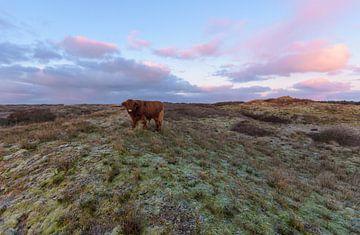 Schotse Hooglander op een duintop tijdens zonsopkomst van Remco Van Daalen