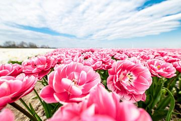Nahaufnahme eines rosa Tulpenfeldes bei Swifterbant. von Nederlandschap