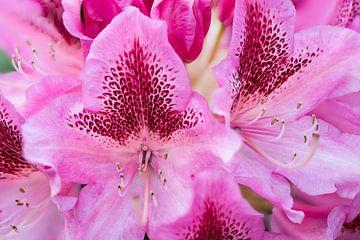 Roze rododendron von Wim Stolwerk