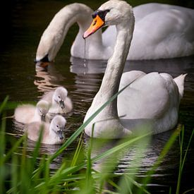 Een kleine familie zwanen van Pascal Raymond Dorland
