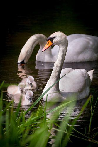 Een kleine familie zwanen