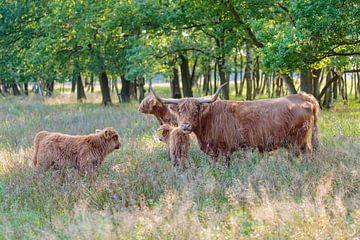 Schotse Hooglander koe met kalveren van Henk van den Brink