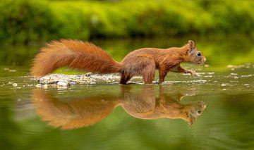 Eekhoorn in t water van Tanja van Beuningen