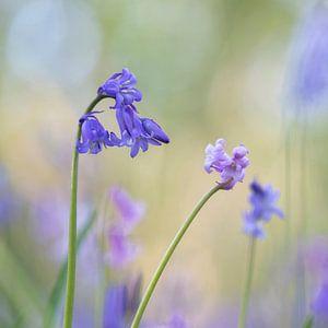 Wilde Hyacinten van Mireille Breen