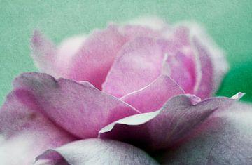 Rosenblüte von Rosi Lorz