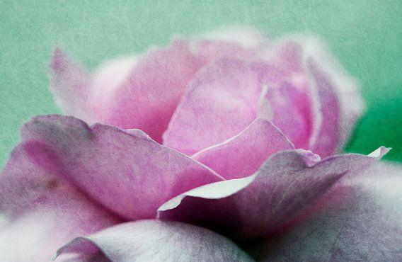 Rosenblüte van Rosi Lorz