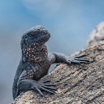 Jonge Zeeleguaan Galapagos Eilanden von Lex van Doorn