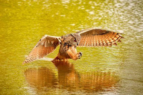 Een  gedetailleerde Oehoe, de roofvogel vliegt met uitgespreide vleugels  en staart in het water. bo