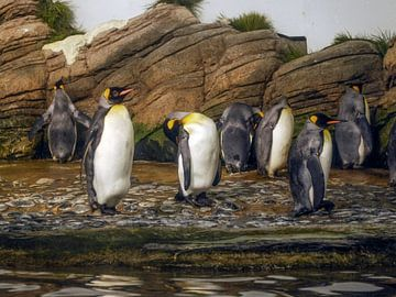 Königspinguin : Tierpark Blijdorp von Loek Lobel