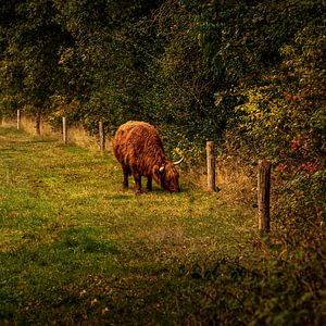 Schotse Hooglander in Drenthe vierkant formaat van ina kleiman