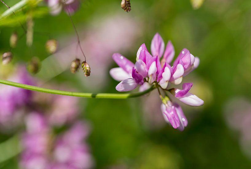 coronila varia in botanical garden van Compuinfoto .
