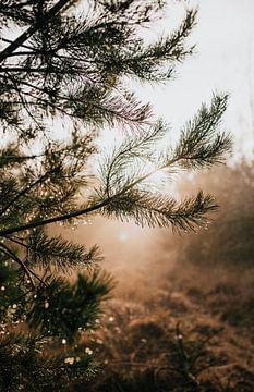 Gouttes de rosée sur un pin du Veluwe | photographie de nature photographie de voyage tirage photo | sur Eva Krebbers | Tumbleweed & Fireflies Photography