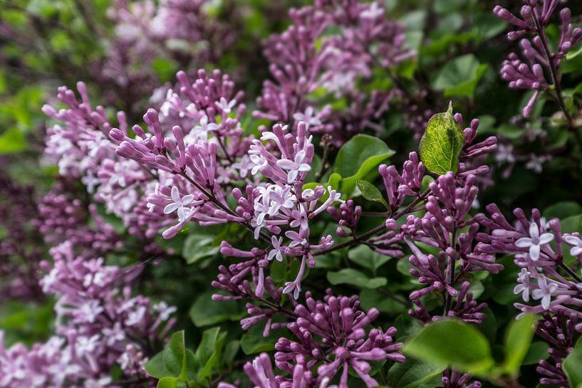 Struik met takken van de paarsrood gekleurde, geurende lentebloemen en bloemknoppen van de sering van Henk Vrieselaar