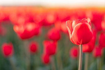 Bloeiende rode tulpen in een veld tijdens zonsondergang van Sjoerd van der Wal