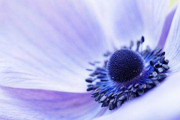 """Close-up van een Anemone Coronaria """"Mr Fokker"""" .  van"""
