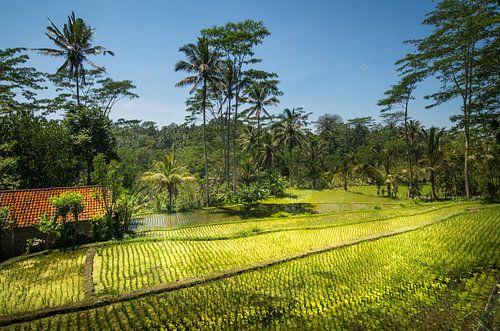 rijstveld met huis van