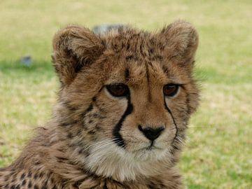 Cheetah close-up van Marion van Kints