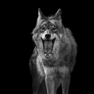 Europäischer Wolf, Canis lupus lupus lupus lupus lupus von Gert Hilbink