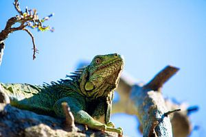 Majestueuze Groene Leguaan op Bonaire