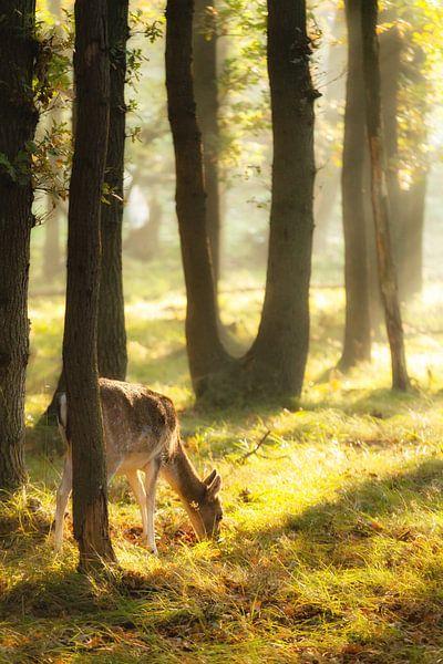 Hertje in het ochtendlicht in het bos van R Smallenbroek