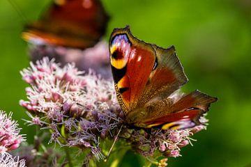 Vlinders van Flevoland. van Berend Kok