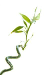 Dracaena sanderiana of Geluks-Bamboe.