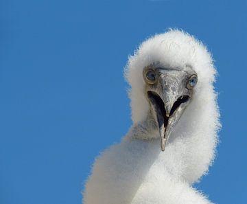 Küken-Tölpelvogel von Melissa Gernette