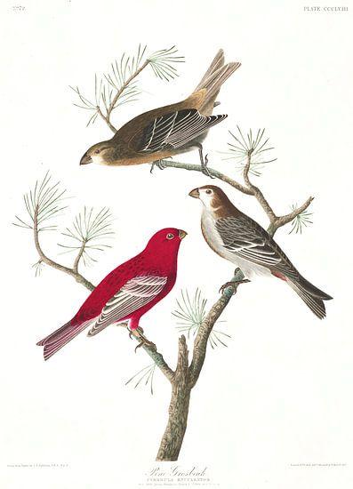 Haakbek van Birds of America