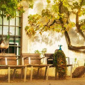 Pfauen im Urlaub, Spanien von Lars van de Goor