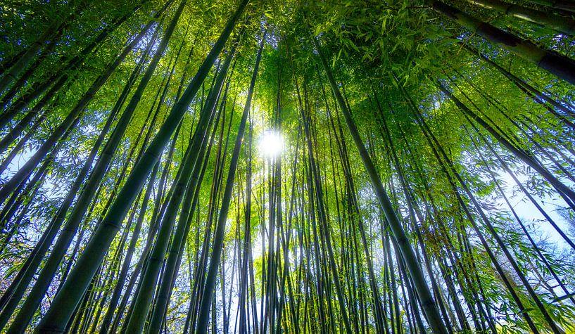 Bamboo forest sur Adrien Hendrickx