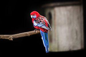 Roodblauwe Rosella papegaai