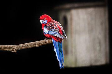 Roodblauwe Rosella papegaai von Harrie Muis