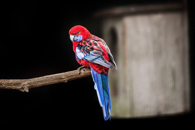 Roodblauwe Rosella papegaai sur Harrie Muis