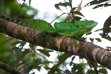 Basilisk Lizard sur Martijn Smeets