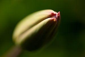 Tulp in de knop van