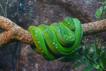 grüne Python von Corien van der Reest