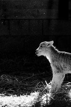 pasgeboren lam zoekt de zonnestralen op van Danai Kox Kanters