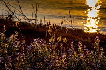 Close-up van tarwe komt op het gouden uur met de zee en bokeh op de achtergrond