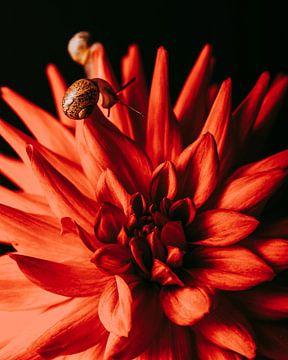 Nature morte aux fleurs Photographie en studio Dahlia sur Coby Zwartbol