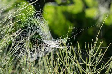 spinnenweb met dauw van een tuinkruisspin (Araneus diadematus) op een weiland in het ochtend achterl van Maren Winter