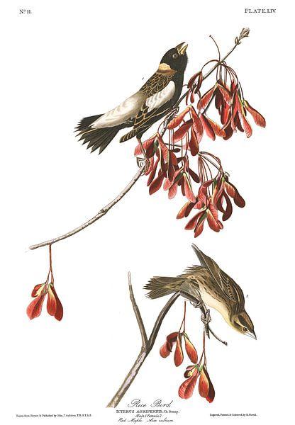 Bobolink van Birds of America