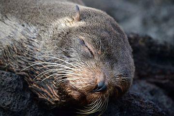 Slapende zeeleeuw van Jaap Voets