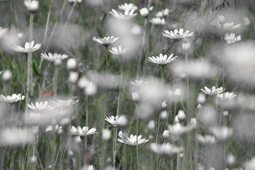 Gänseblümchen von Ad Jekel
