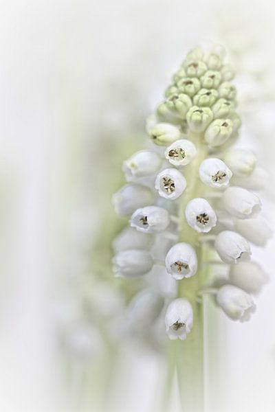 White Grape Hyacinth II (bloem, blauwe druifjes, wit) van Bob Daalder