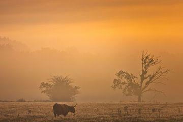 Schottischer Highlander in der Heide von Drenthe bei Oudemolen an einem schönen nebligen Herbstmorge von Bas Meelker